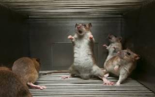 Молитва об избавлении от крыс
